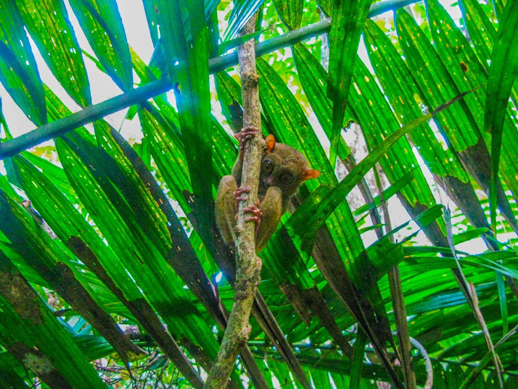 The Philippine tarsier, Bohol Island