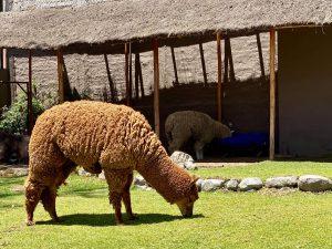 Lama, Peru
