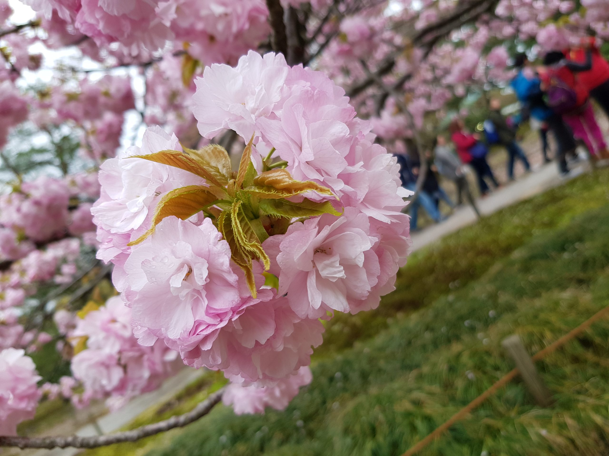 Япония с дъх на пролет и вишни