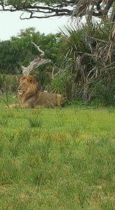 Лъв, почиващ си в Селу- Танзания, 2019г.