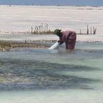 Жени от танзания обработват водораслите