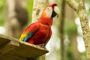 Червено- жълт макао