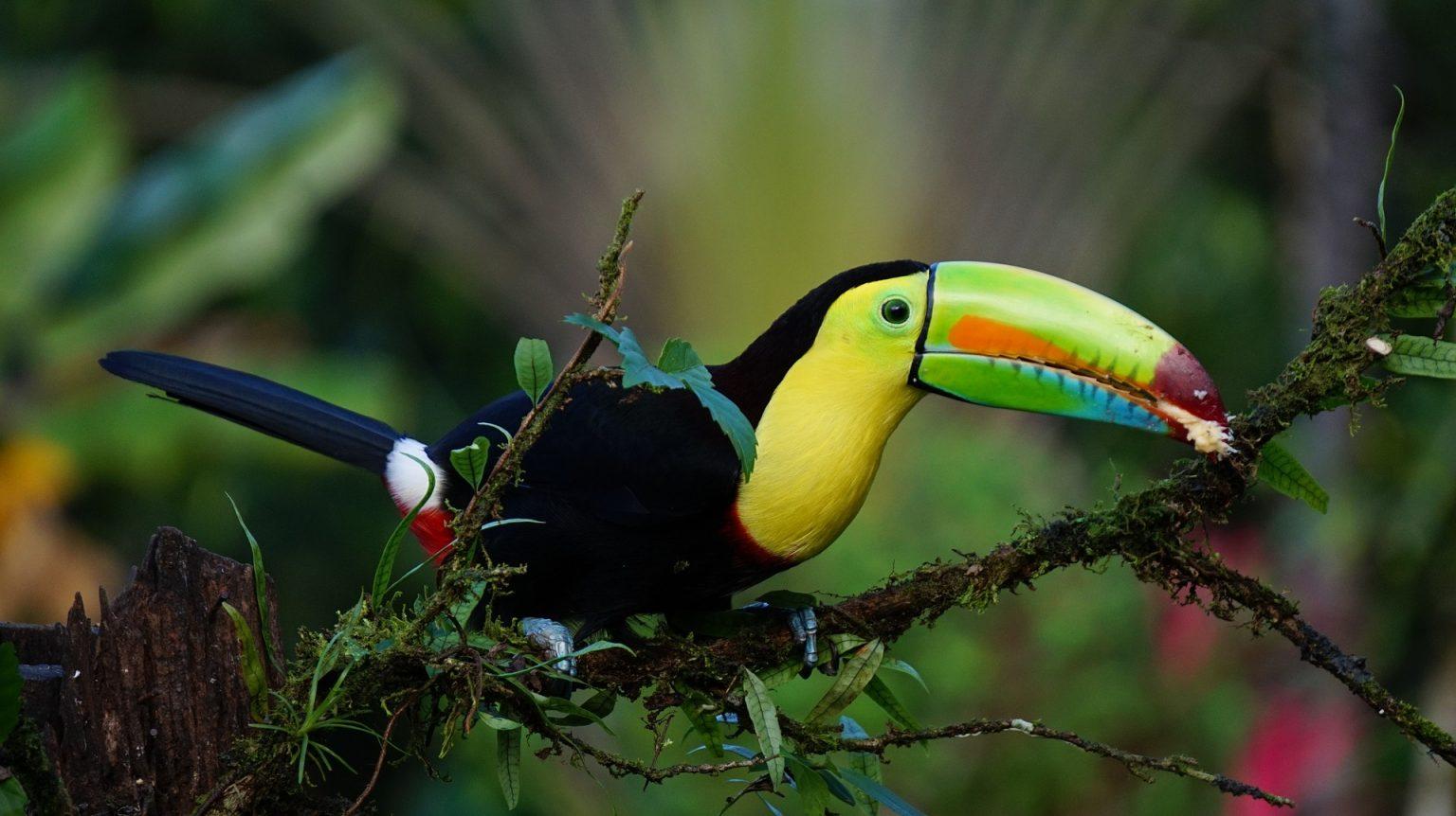 известната птица Тукан в Коста Рика