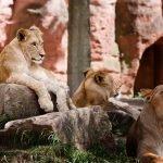Лъвове- Масаи Мара