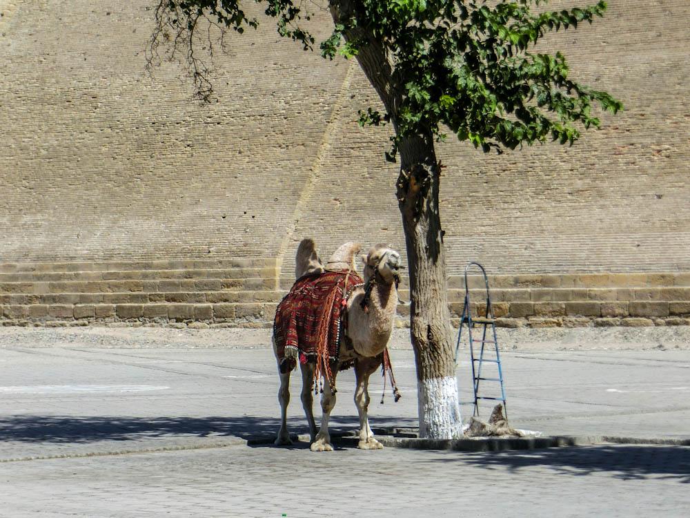 Камила пред крепост ARK, Букхара