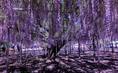 Ашикага парк, Япония